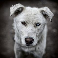 ©chrisgibbs: dog musher alaska husky