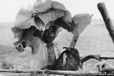 A man takes shade under the leaves of a teak tree. Central India - By celebrated photographer, Gianni Berengo Gardin.