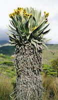 Los frailejones son rosetas gigantes que evolucionaron en la alta montaña; se conocen aproximadamente 130 especies y su mayor centro de diversidad está en la región de los Andes de Mérida, Venezuela y la Sierra Nevada del Cocuy en Colombia. Espeletia hart