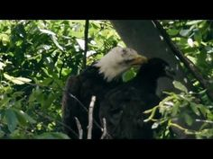 A Family's Journey/Annette Devinney....BEAUTIFUL VIDEO OF THE HAYS 1ST FAMILY.......Pittsburgh Bald Eagles In Hays. April 2013 to October 2013.