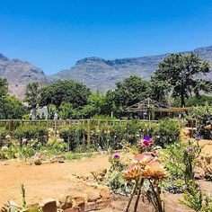 From most parts of Cape Town you can easily spot Table Mountain. However its view from the Companys Gardens in the city centre is one of the best. Smelling the various flowers enjoying the warm sun listening to local artists or taking a nap on the green grass is a good way to spend the afternoon.  ______________________ Photo: @chagallaure   #mountain #plants #green #naturalbeauty #citycentre #CBD #companygardens #relaxing #walk #smell #bluesky #rocks #trees #capechameleon #capetown…