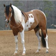 American Paint Horse Stallion A. This horse is the definition of beautiful. All The Pretty Horses, Beautiful Horses, Animals Beautiful, Horses And Dogs, Wild Horses, Paint Horse Americano, Cheval Pie, Arte Equina, American Paint Horse