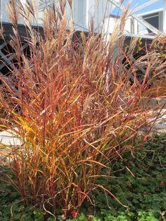 Japanskt gräs, Miscanthus sinensis här favoritsorten 'Dronning Ingrid', höjd 110/140 cm. Olivfärgade strån sommartid, orangeröd färg senhöst. Bild tagen 21 okt. Egen design och anläggning (Form & Funktion).