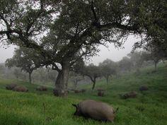 El ecosistema de la Dehesa de Extremadura es uno de los mejores conservados de Europa