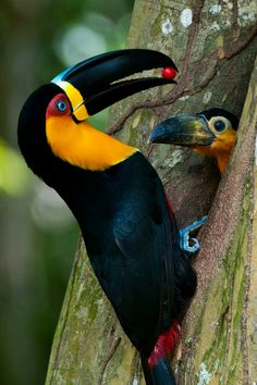 Toucan and baby chick- love the little guy's beak!