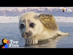 Seal Pup Waves To Photographer + Other Amazing Animal Encounters | The Dodo Top 5 - YouTube