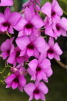 Orquídea Cooktown, Dendrobium bigibbum. Flor símbolo do estado de Queensland, Austrália.  Fotografia: MaX Fulcher no Flickr.