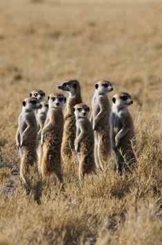 Group of Meerkat Warming Up In Morning Sunshine. Kalahari Desert, Botswana