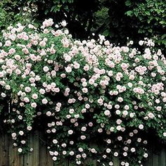 100 Pcs/Bag Climbing Rose Seeds Colorful Rosa Tree Seeds,Chinese Polyantha Rose Bonsai Potted Plant For Home Garden So Romantic Climbing Rose Plants, Climbing Flowering Vines, Climbing Hydrangea, Climbing Vines, Climbing Flowers Trellis, Evergreen Climbing Plants, Comment Planter Des Roses, Vine Fence, Vines For Fences