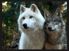 Lovers - friendship, white, grey wolf, wild animal black, winter, majestic, howl, canine, arctic, wolves, wolf wallpaper, black, grey, canis lupus, wolfrunning, insnow, abstract, wolf pack, dog, howling, spirit, nature, solitude, timber, lobo, wallpaper, beautiful, lone wolf, snow, mythical, wolf, the pack, pack