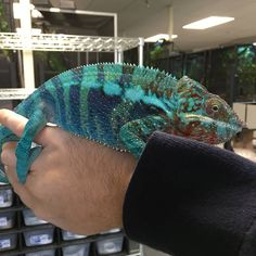 Here's one of our stunning Panther chameleons (Furcifer pardalis), just before getting shipped to his new keeper!