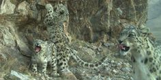 Snow leopard family in the Kyrgyz Mountains