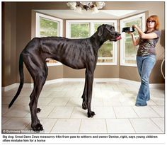 'Is that a dog or a pony?': Owner of Zeus, the world's tallest dog, says her giant canine is so big children thinks he is a horse