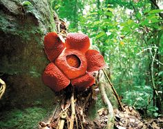 Rafflesia flower in full bloom at Gunung Gading National Park, Sarawak, Malaysia. Largest flower in the world, can grow up to 1 meter in diameter Strange Flowers, Rare Flowers, Wild Flowers, Komodo, Borneo, Sarawak Tourism, Bat Flower, Corpse Flower, Mount Kinabalu