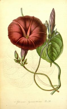 Ipomoea tyrianthina (a type of morning glory)    http://archive.org/details/mobot31753002747258