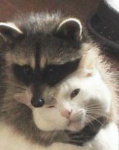 Pretty Animals, Cute Little Animals, Pretty Cats, Cute Cats, Funny Animal Pictures, Funny Animals, Cute Raccoon, Cat Aesthetic, Cute Memes