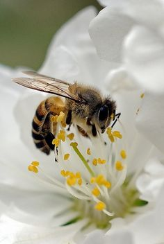 Honey Bees visit 2 thousand flowers a day! Wow that's perseverance to get a job done. No wonder we use the phrase about busy bees.  #landscapingyourlife and yet they're good at delegation too each with their own Job