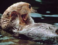 otter       I always say if I could be anything other than human, this is IT!!!