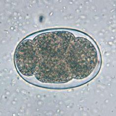 Pinworm morfológia - Pinworm morfológia