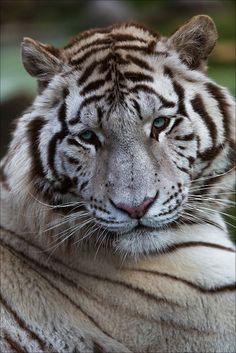 ~~White Tiger by Fotografik33~~ / Pussy Cats, large and small / Pinte…