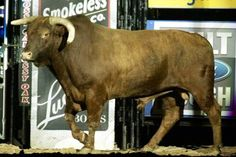Little Yellow Jacket Tuckers favorite bull probably because Wiley was the first one to stay on for 8 seconds Bucking Bulls, Professional Bull Riders, Rodeo Cowboys, Rodeo Life, Bullen, Cowboy And Cowgirl, Cowboy Hats, Bull Riding, Barrel Racing