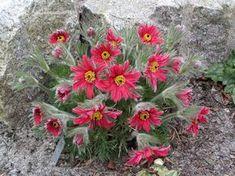 Pulsatilla vulgaris 'Dissecta' - My site Rock Flowers, Butterfly Flowers, Flowers Nature, Wild Flowers, Alpine Garden, Alpine Plants, Perennial Grasses, Hardy Perennials, Amazing Flowers