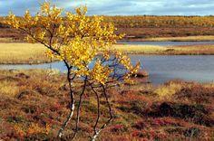 Ruska, Autumn in Lapland, Finland
