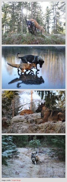 Tinni the Dog and Sniffer the Wild Fox    #friends #animals #love   Unusual Animal Friendships That Will Melt Your Heart by http://www.boredpanda.com/unusual-animal-friendships-interspecies/
