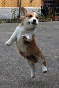 Jump for Joy! Adorable Pembroke Welsh Corgi puppy | Flickr - Photo Sharing! by ischoold #PembrokeWelshCorgipuppy