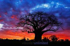 African Baobab, Tanzania