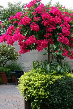 Container Gardens in a courtyard | Bougainvillea