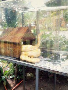 Albino Burmese Python @ Baybayon ni Agalon. #Snake #Pinterest