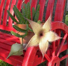 stapelia first bloom