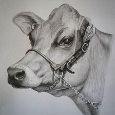 Cow art. Pencil drawing by Rebecca Simmonds. 24 x 28 cm. see Rebecca Simmonds Art on facebook