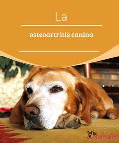 La osteoartritis canina   En el presente artículo os hablaremos sobre una enfermedad que afecta a muchos perros, la osteoartritis canina. #enfermedad #caninos #salud #prevenir