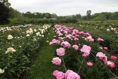 JUNE 1, 2012 My Peony Party | This peony bed contains 11 double rows.  Each double row is planted with 2 different varieties, with 22 plants in each row.  That's a total of 484 plants in all!