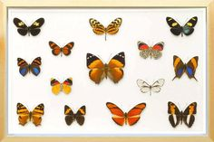 14 REAL BUTTERFLIES COLLECTED IN A HIGH MOUNTAINOUS AREA OF PERU. PREPARED AND ASSEMBLED IN HANDMADE DISPLAY CASE FOR THE PLEASURE OF YOUR EYES. FRAME SIZE: 390 X 260 X 58MM, FITTED WITH A WALL MOUNT FRAME TYPE AND COLOUR: WALNUT OR PINE WOOD FACT SHEET: UNIQUE PERUVIAN MOUNTAINS BUTTERFLY EACH SPECIMENS IS CLASSIFIED AND DESCRIBED  WITH LATIN NAME, FAMILY AND ORIGINS QUALITY:  A1/A1- R0340 ACTINOTE LAVERNA R0330 ADELPHA EROTIA R0337 ADELPHA IRMINA TUMIDA R0333 EUEIDES EANES R0341 CALLICORE…