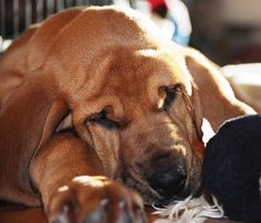 bloodhound photo   Tucker the Bloodhound   Puppies   Daily Puppy