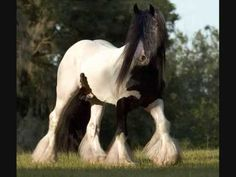 """The Most Beautiful Horses In The World """"Gypsy Vanners"""""""