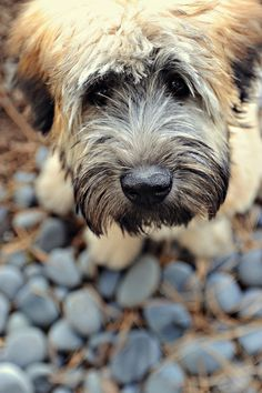 Griffin - Soft Coated Wheaten Terrier