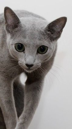 Russian Blue perhaps it's the air of mystery that holds us so entranced.....