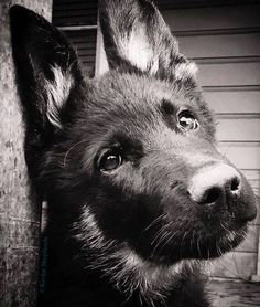 German shepherd dogs fill our hearts with love, and our homes with laughter (and hair...). What is your favorite thing about your dog? Everything you want to know about GSDs. Health and beauty recommendations. Funny videos and more