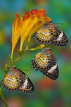 Darrel Gulin Photography   Gallery   Butterflies III / Fresia with butterflies