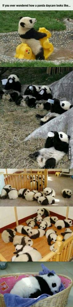 Panda daycare >>> I THINK I JUST FOUND MY DREAM JOB!!!