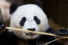 Panda Xiao Liwu is back on exhibit!