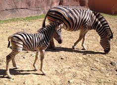 Baby Zebra In Gaiazoo