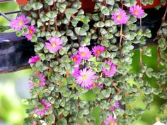 Braunsia maximiliani (Beads Lampranthus) is a compact, creeping, perennial, succulent shrublet. It blooms early in the year with quite...