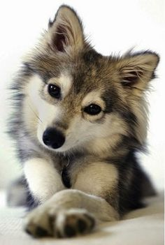 Cute little silver fox looking dog #dog #pet