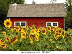 Red Barn And Sunflowers.  Yes!  I must plant some :)