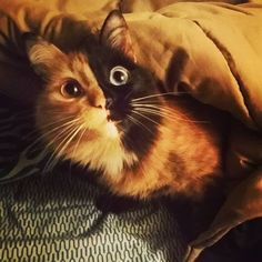 """""""Open your eyes"""", Quimera #Twofacedcat #quimera #Chimera #Cat #kittyboss #meow…"""
